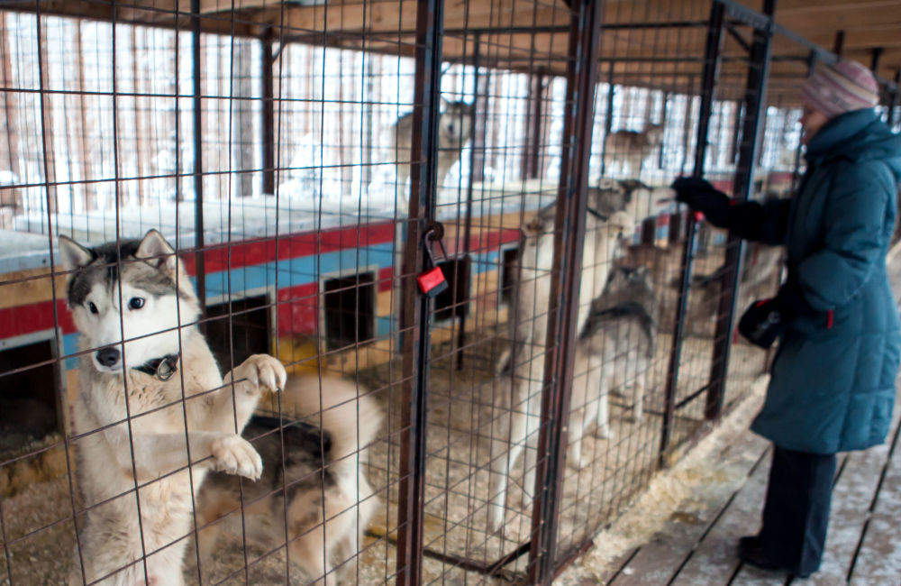 Hodowla psów na terenie kompleksu turystycznego Karjala Park