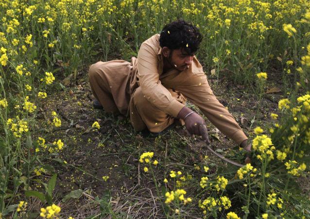 Mężczyzna zbiera gorczycę w miejscowości Lahore, Pakistan