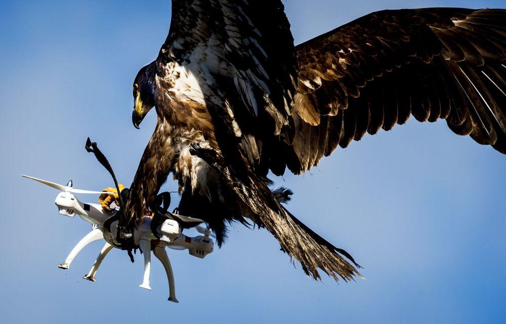 Orzeł łapie dron podczas ćwiczeń policyjnych w Katwijku