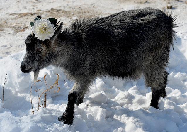 koza Mańka
