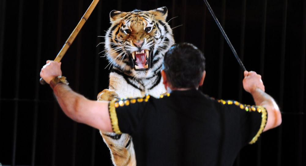 Treser i tygrys na arenie cyrku