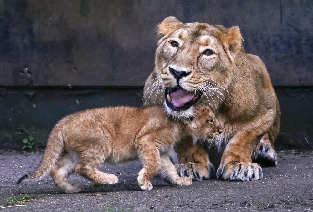 Azjatyckie lwiątka w belgijskim ogrodzie zoologicznym
