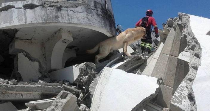 Pies Daiko, który uratował siedem osób spod ruin po trzęsieniu ziemi w Ekwadorze