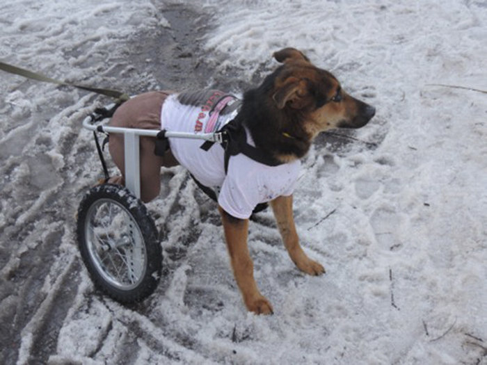Z doświadczenia wielu właścicieli psów-inwalidów wynika, że swoim zachowaniem nie różnią się niczym od zdrowych zwierząt.