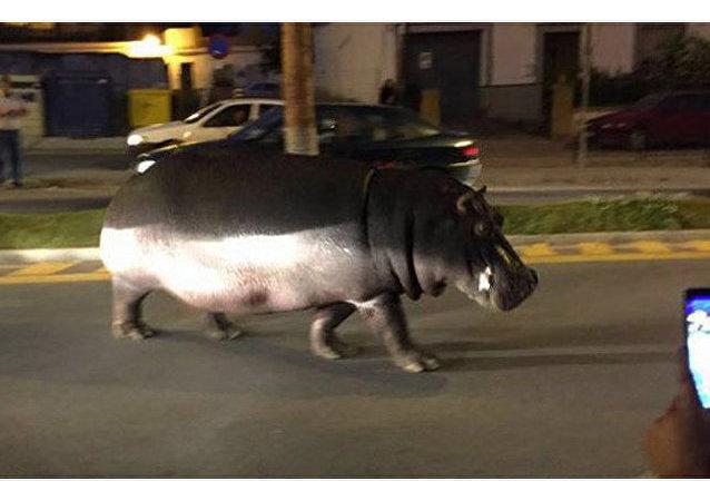 Mieszkańcy miasta Palos de la Frontera zauważyli spacerującego po ulicach hipopotama