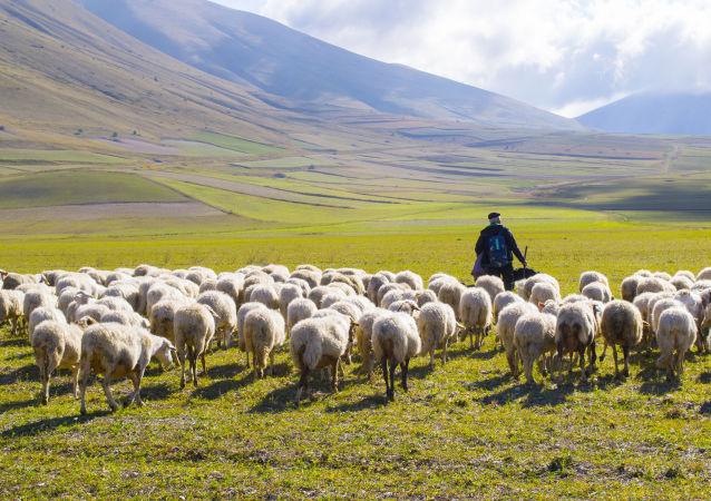 Wypas owiec we Włoszech
