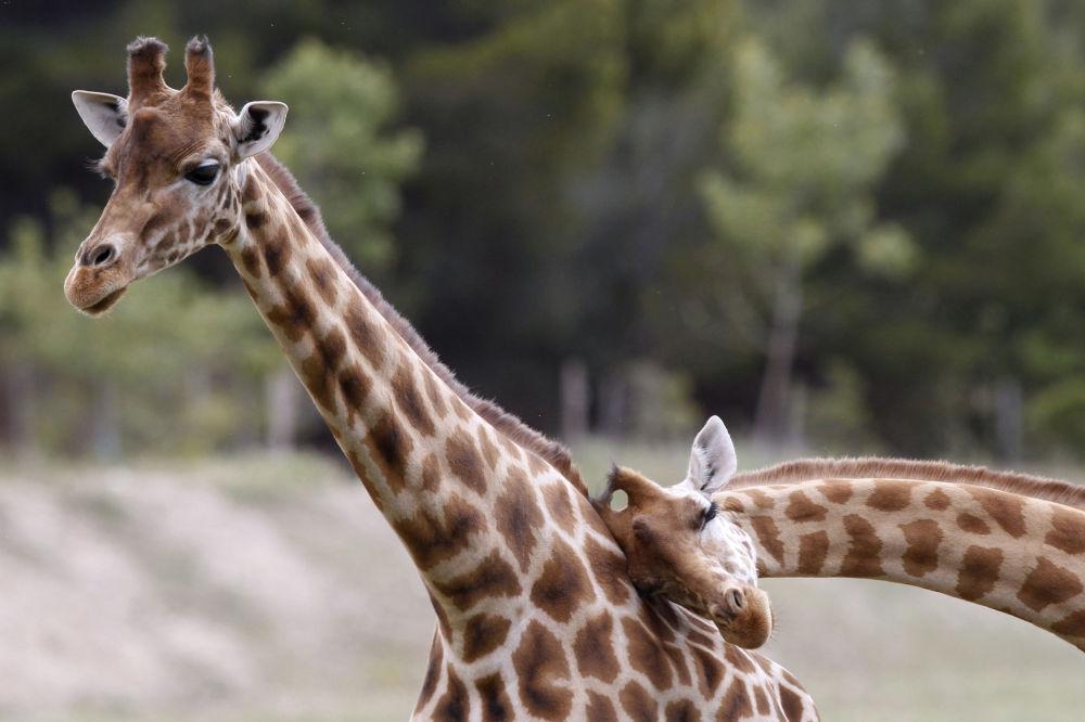 Żyrafy w rezerwacie afrykańskim Sigean we Francji.