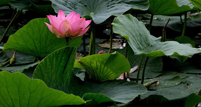 W kraju Nadmorskim (Rosja) kwitną lotosy