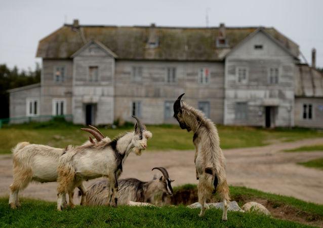Kozły pasą się na Wyspie Sołowieckiej w obwodzie archangielskim