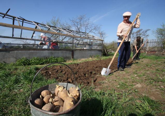 Zbiór ziemniaków na daczy