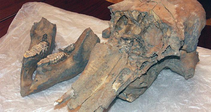 Kości mamuta