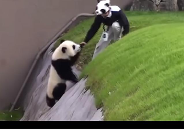 Niepokorna panda