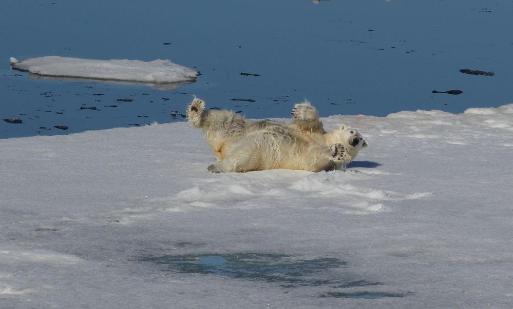 Niedźwiedź polarny w Oceanie Arktycznym.