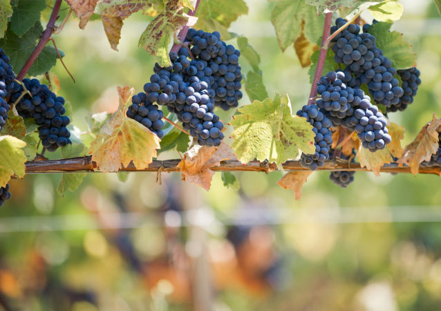 Winnice w gospodarstwie winnym UPPA Winery. Bałakławski rejon Sewastopola