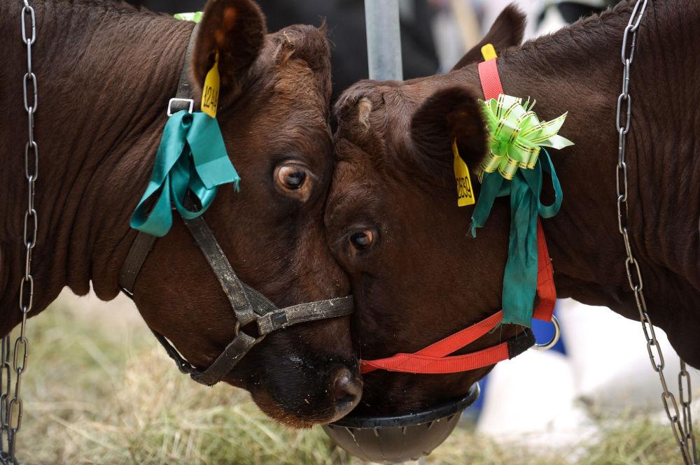 """Krowy na 18. Rosyjskiej Wystawie Rolno-Przemysłowej """"Złota Jesień"""" na terytorium WDNH."""