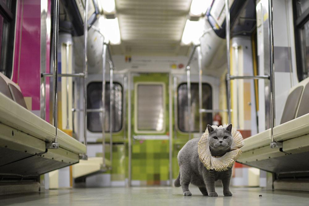 """Czystej krwi brytyjski kot został pierwszym pasażerem na trasie pociągu moskiewskiego metra """"Szekspirowskie Namiętności"""", który został uruchomiony na linii Arbacko-Pokrowskiej, poinformowano w British Council."""