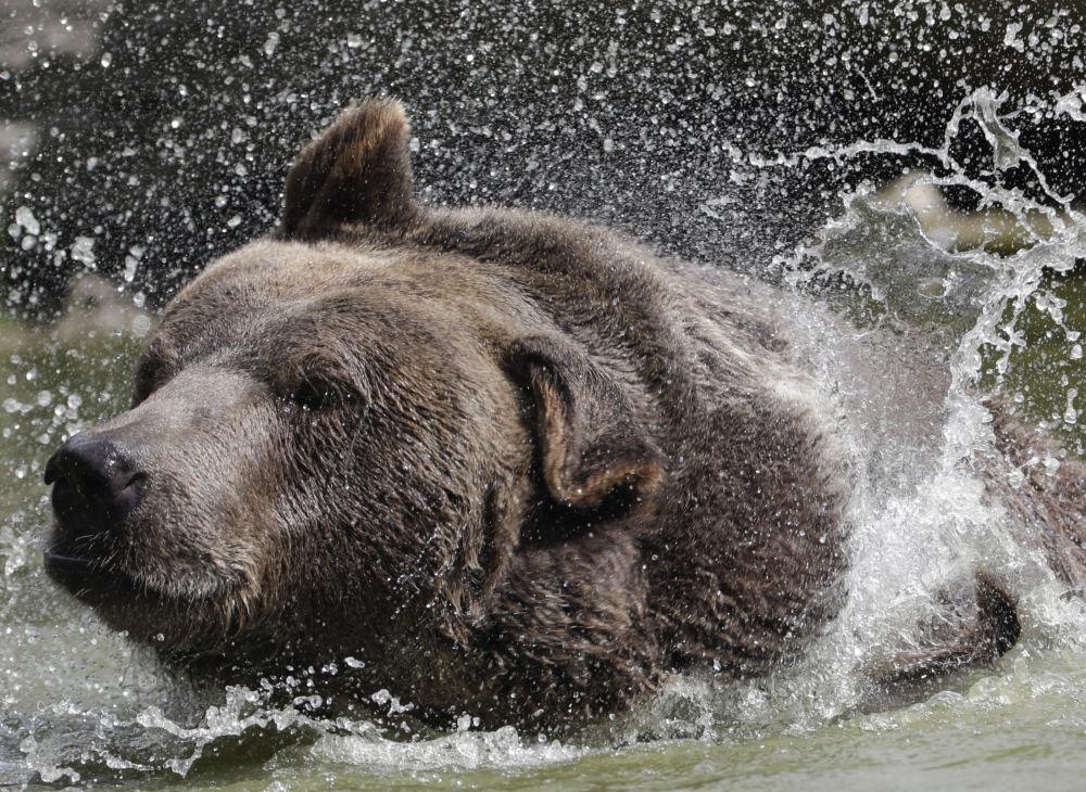 Niedźwiedź syryjski Leo w schronisku dla osieroconych dzikich zwierząt w Otisville, w stanie Nowy Jork, USA
