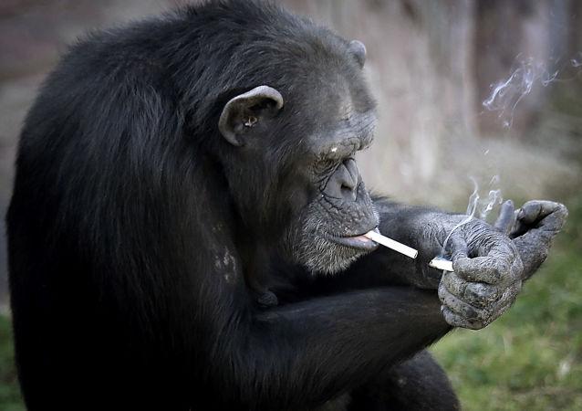 Paląca małpa w ZOO w Pjongjangu, Korea Północna