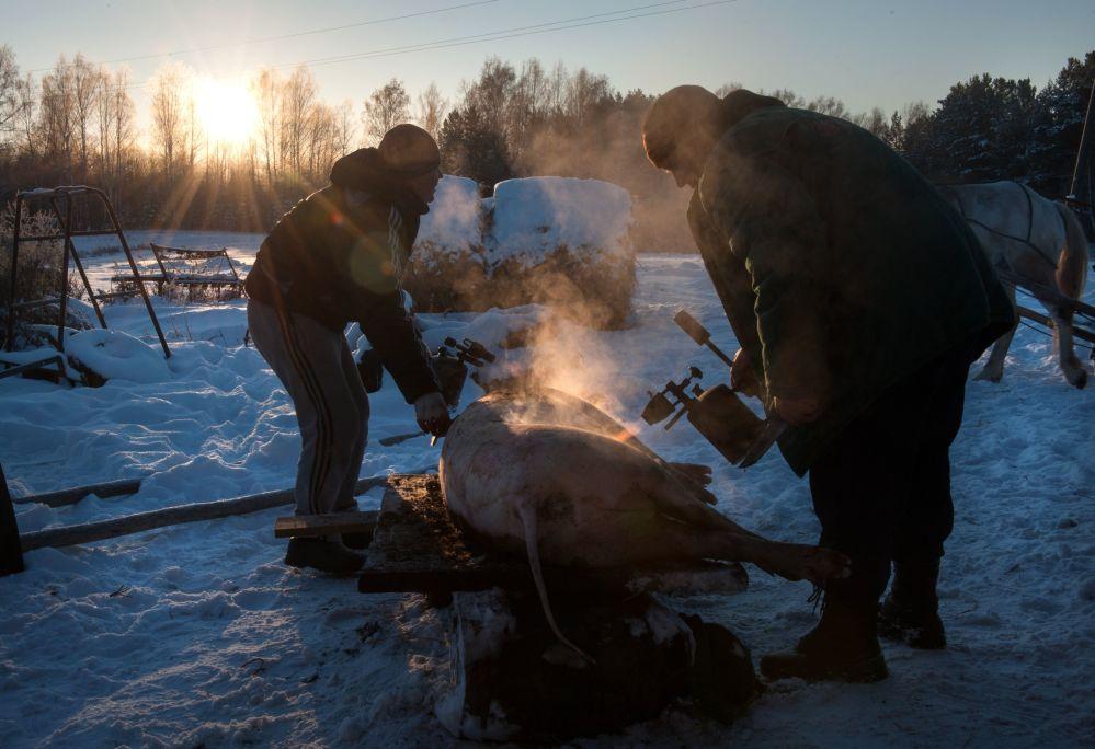 Opalanie świni palnikiem gazowym na podwórzu we wsi Bieriozowka w obwodzie tomskim