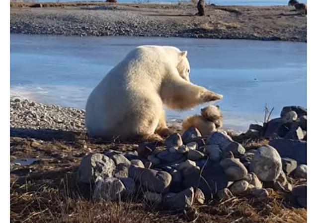 Niedźwiedzia delikatność