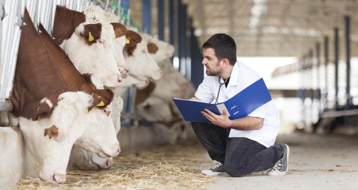 Weterynarz ogląda krowy