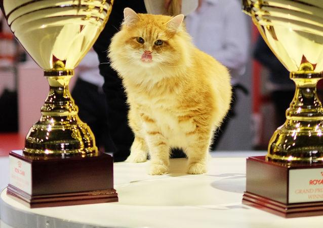 """Kot rasy syberyjskiej na wystawie """"Grand Prix Royal Canin"""" w Moskwie."""