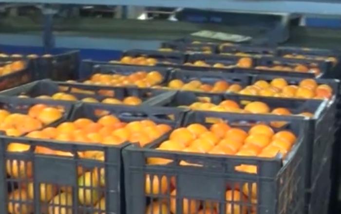 Syria częstuje pomarańczami