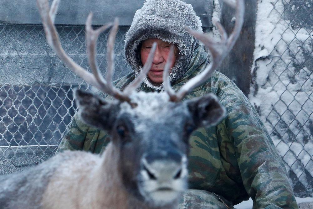 Pasterz i hodowca reniferów w zagrodzie z reniferem we wsi Krasnoje w Nienieckim Okręgu Autonomicznym