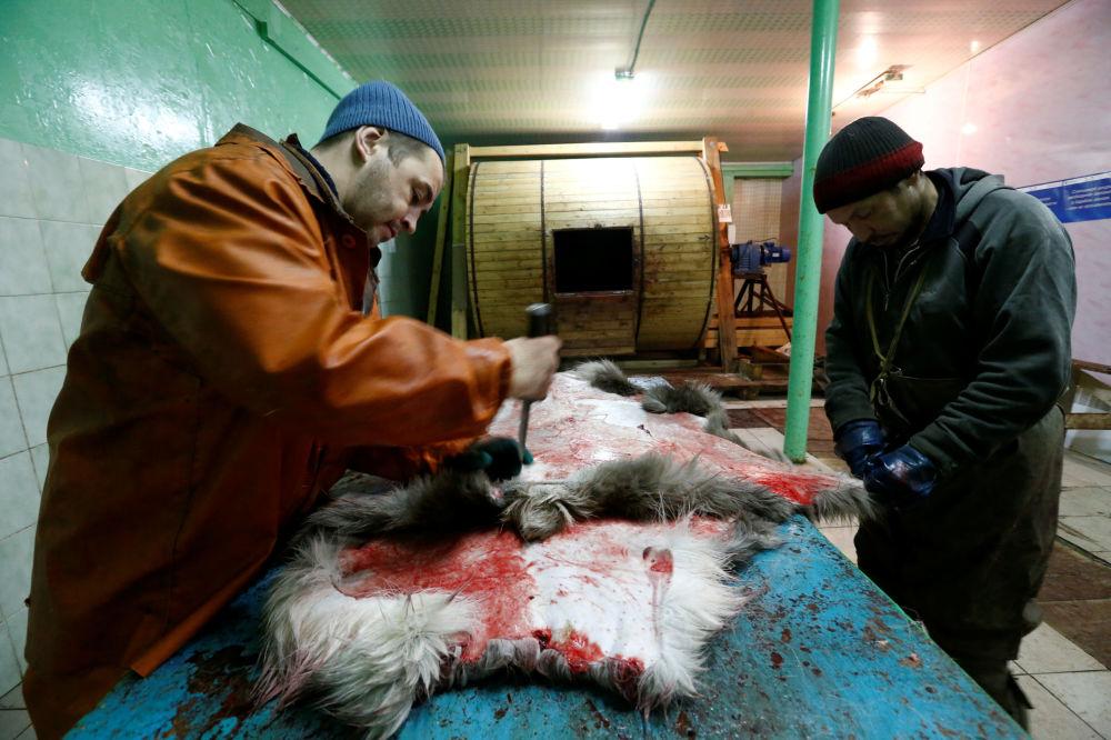 Pracownicy farmy we wsi Krasnoje oprawiają skórę renifera