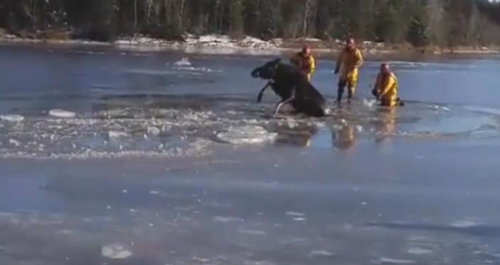 Strażacy uratowali łosia