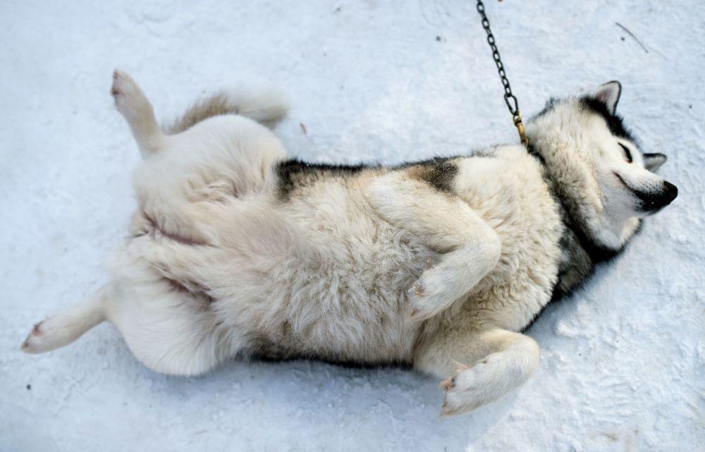 Pies rasy husky w moskiewskim parku Sokolniki podczas programu rehabilitacyjno-edukacyjnego Po drodze z husky