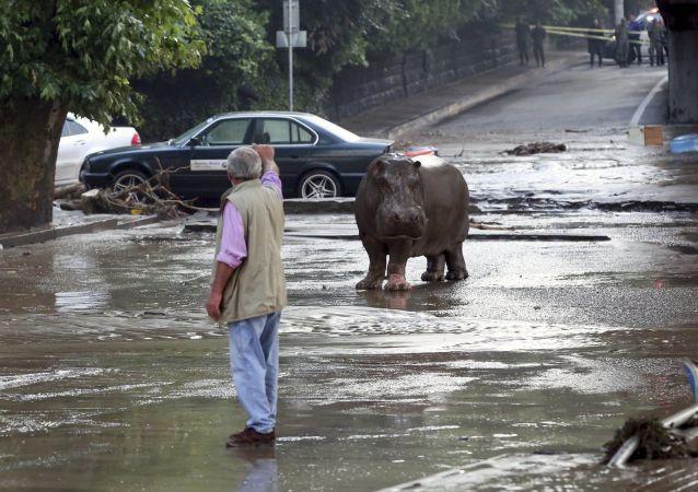 Hipopotam, który uciekł z zoo w Tbilisi