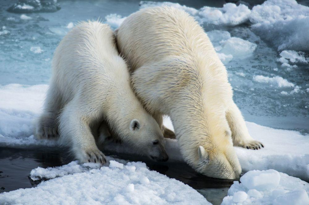 """Jedyna żywa istota, którą można spotkać w rejonie archipelagu Ziemia Franciszka Józefa to biały niedźwiedź. Uczestnicy wyprawy """"Kara-zima"""" mieli szczęście, gdyż spotkali dwóch niedźwiedzi na raz."""