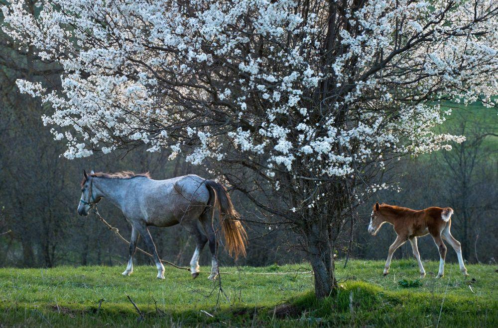 Koń ze źrebięciem we wsi Klinowka na Krymie.