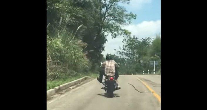 W Tajlandii wąż rzucił się na jadącego drogą motocyklistę
