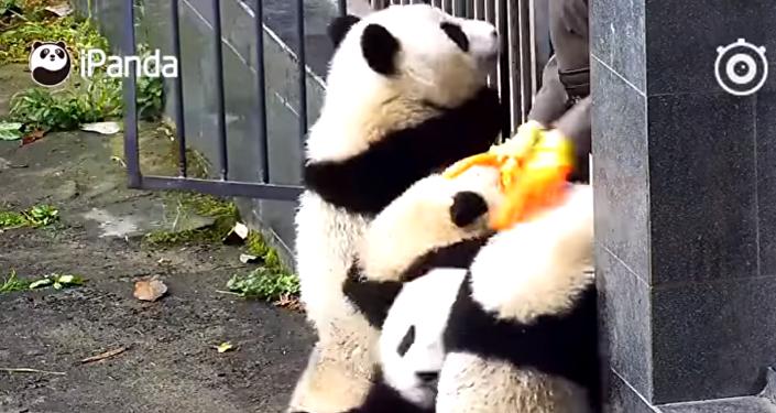 Coś niebywałego! Pandy uciekają z zoo