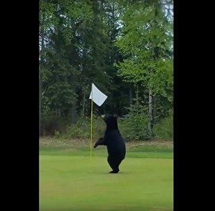 W USA niedźwiedź wbiegł na pole golfowe i przerwał grę