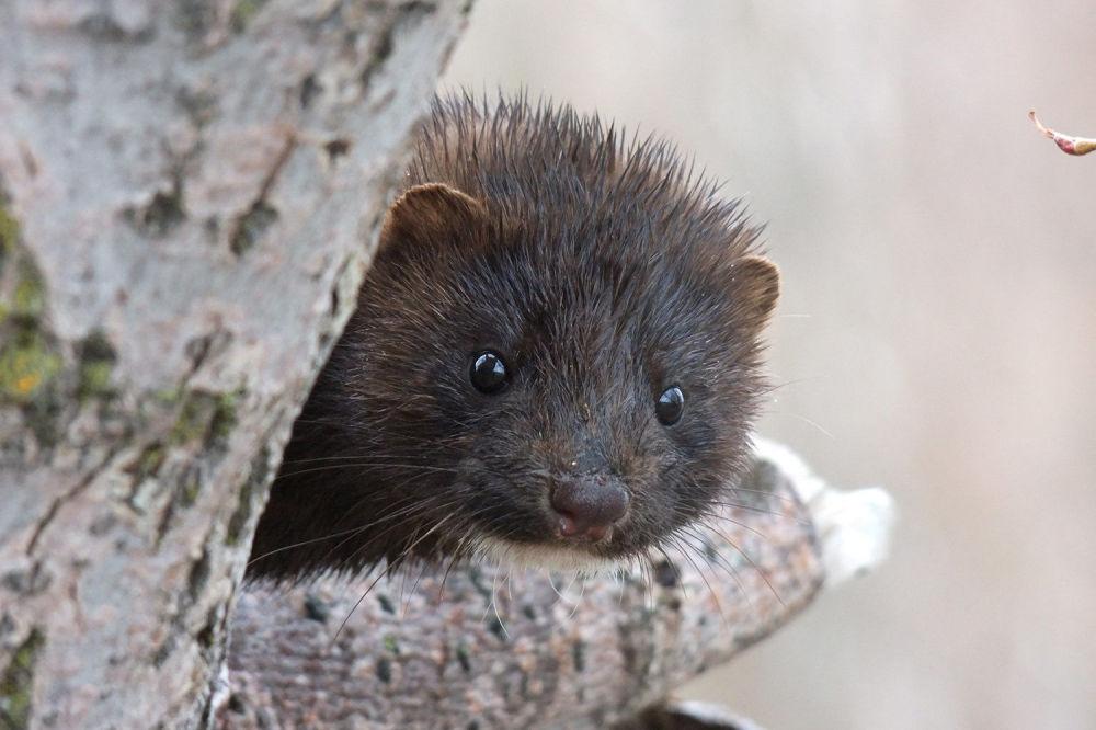 Norka amerykańska po raz pierwszy została wypuszczona na Kamczatce w 1960 roku. Obecnie populacja tych  zwierzątek liczy kilka tysięcy.