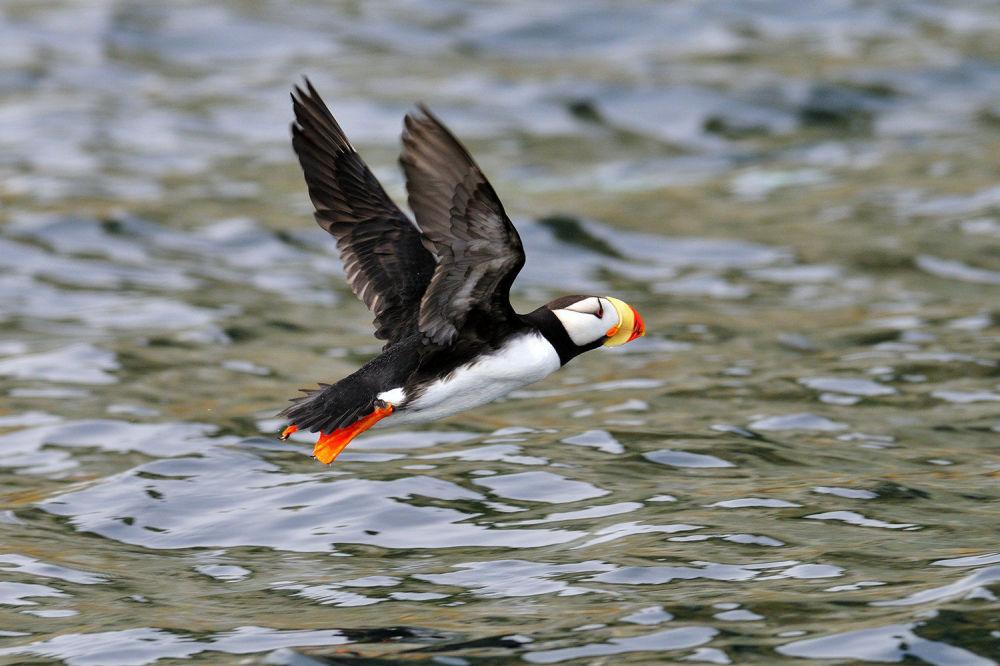 Maskonur pacyficzny może nurkować na głębokość do 50 metrów.