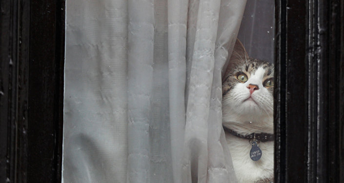 Julian Assange's cat sits at the window of Ecuador's embassy where WikiLeaks founder Julian Assange is taking refuge, in London, Britain