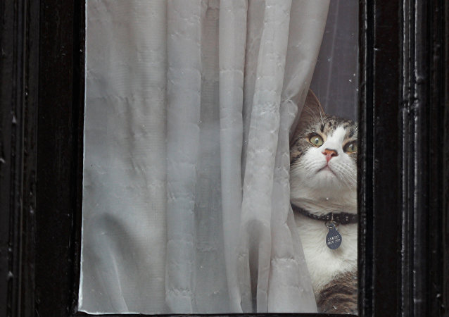 Julian Assange's cat sits at the window of Ecuador's embassy where WikiLeaks founder Julian Assange is taking refuge, in London, Britain