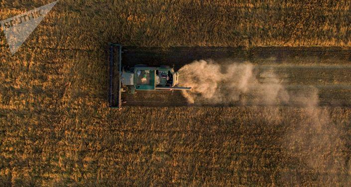 Zbiór owsa na polach  w obwodzie nowosybirskim