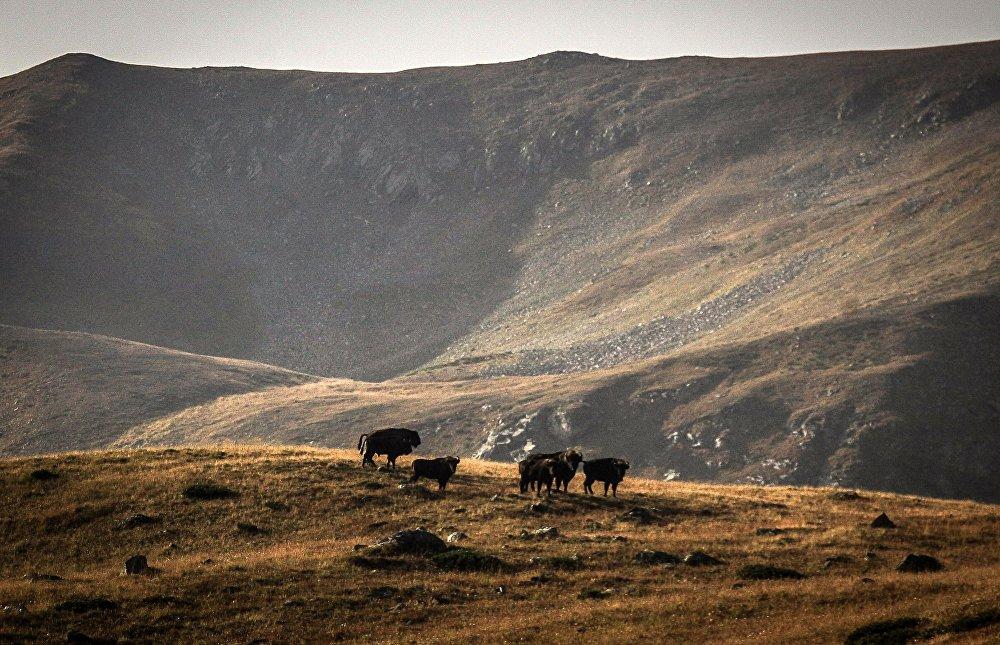 Żubry na terenie wschodniej części Kaukaskiego Rezerwatu Biosfery (Republika Karaczajo-Czerkiesji).
