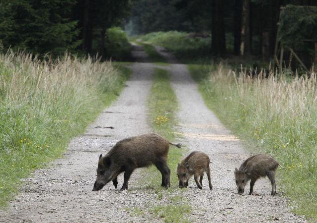 Dziki w lesie pod Monachium