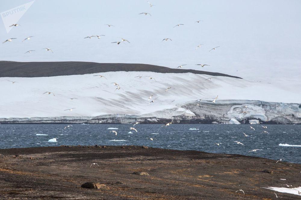 Ptaki na wyspie Greely archipelagu Ziemia Franciszka Józefa.