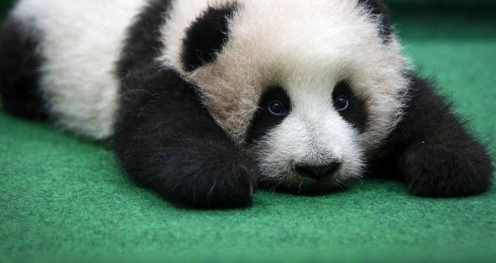 Młoda panda w zoo w Kuala Lumpur