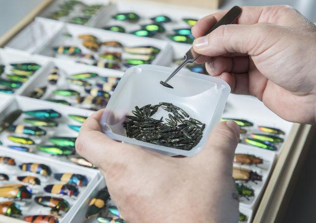 Szmaragdowe chrząszcze bogatkowate w laboratorium