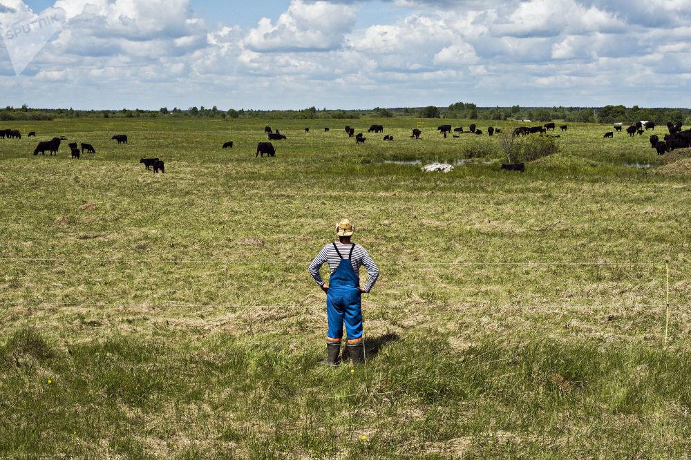 Wypas krów w obwodzie jarosławskim.