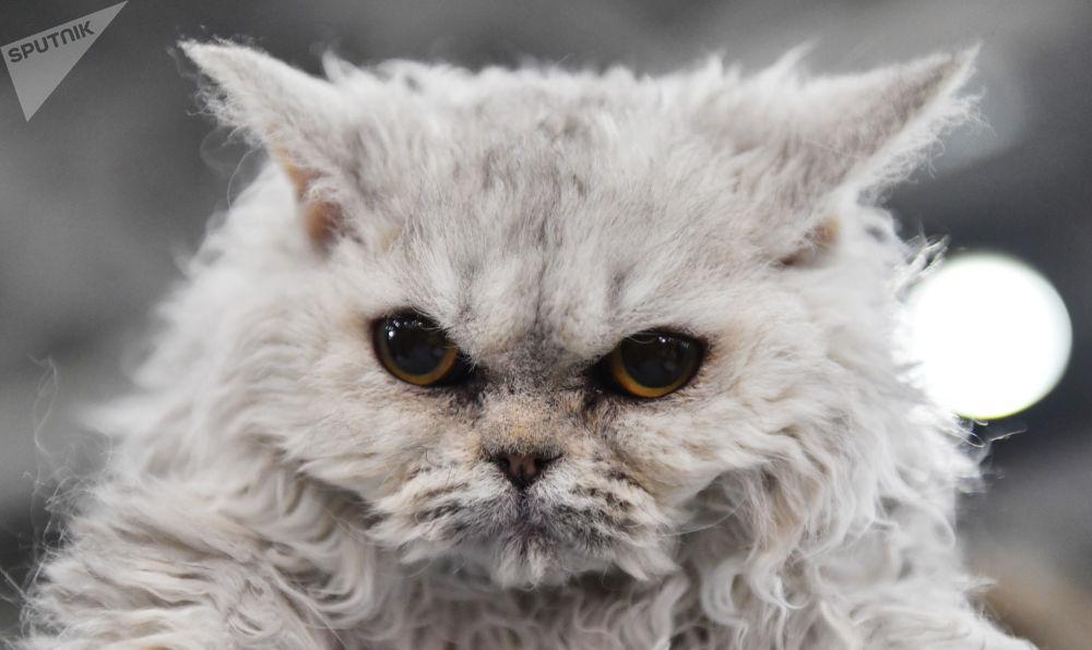 Międzynarodowa wystawa kotów w Moskwie