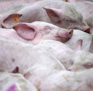 Śpiące świnie w czasie demontracji rolników przed siedzibą UE w Brukseli